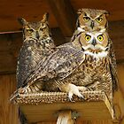 Three Great Horned Owls perched on platform by Klaus Girk