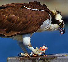 Feeding Osprey by Julie Bishop