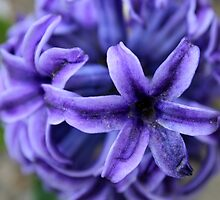 Purple Hyacinth 2 by chrstnes73