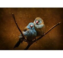 Male and Female Cordon Bleus Photographic Print