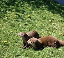 Otters at Knowlsey Safari Park, Uk by BevsDigitalArt
