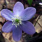 Hepatica (Hepatica nobilis) - Ranunculaceae (Buttercup) by jules572