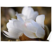 Magnolia buds, The Rower, County Kilkenny, Ireland Poster