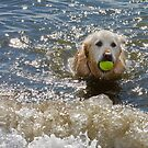 Sparkling Water, Golden Retriever, Bannow Bay, County Wexford, Ireland by Andrew Jones