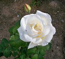 Cute white rose by MONIGABI