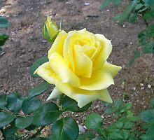 Yellow rose by MONIGABI