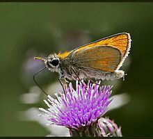 Essex Skipper (Thymelicus lineola) (IV) by DonMc