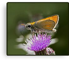Essex Skipper (Thymelicus lineola) (IV) Canvas Print
