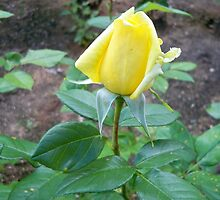 Cute yellow rose by MONIGABI