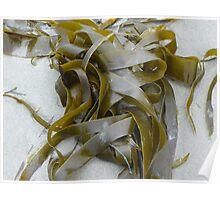 Ribbon  Seaweed  Poster
