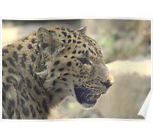 Amur leopard (Panthera pardus orientalis) Poster