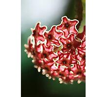 Hoya Photographic Print