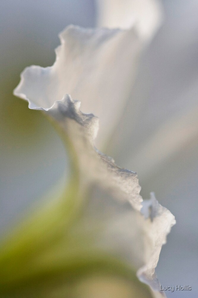 Petunia Ruffles by Lucy Hollis