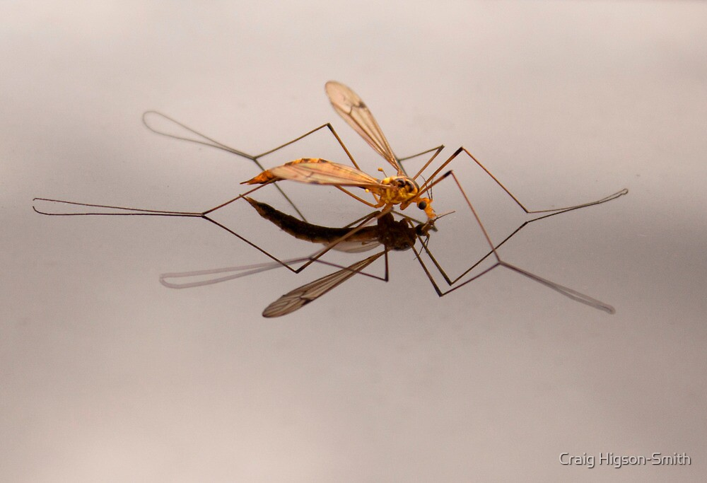 Crane Fly Reflection by Craig Higson-Smith