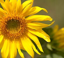 Sunflowers by Craig Higson-Smith