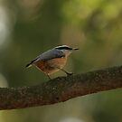 Red-breasted Nuthatch by eaglewatcher4
