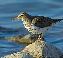 "In the spotlight ""Spotted Sandpiper"" by Wayne Wood"