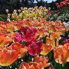 Spring Tulips Abound by Patty (Boyte) Van Hoff