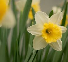 a single spring daffodil  by apsjphotography