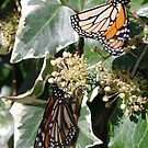 Monarch Butterfly 2 by Gregory John O'Flaherty