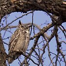 Great Horned Owl by JamesA1