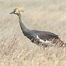 Juvenile Grey Crowned Crane, Serengeti, Tanzania  by Carole-Anne