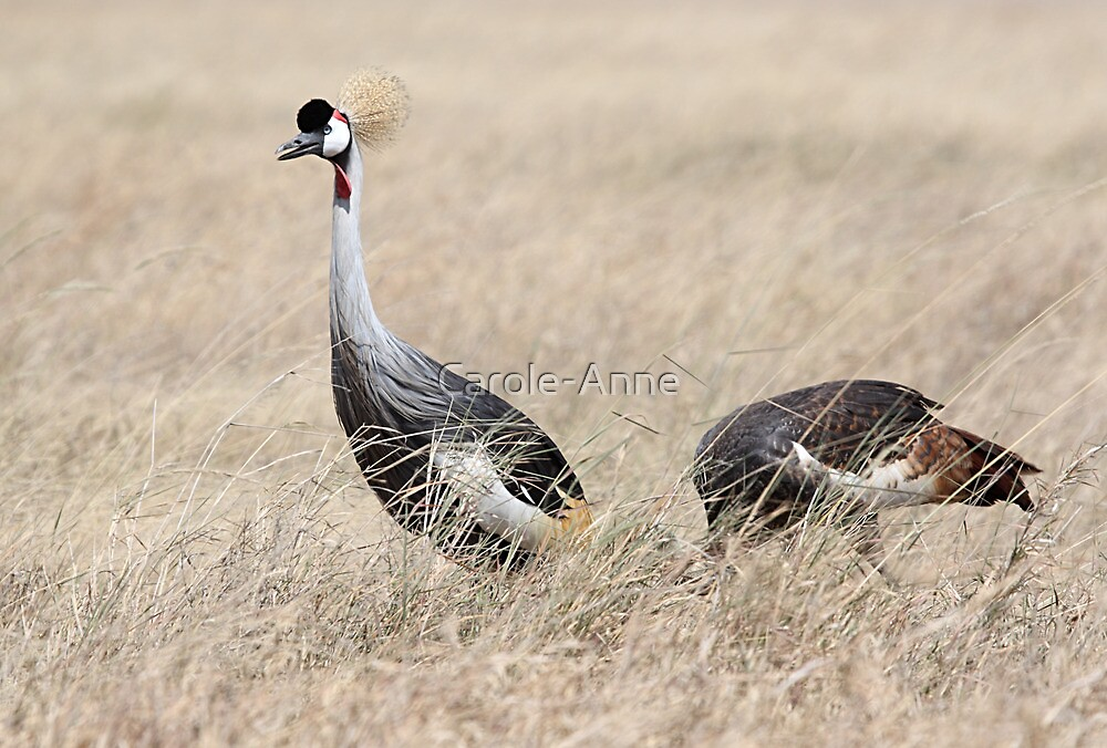 Grey Crowned Crane, Serengeti, Tanzania by Carole-Anne