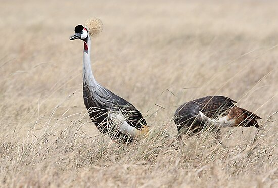 Grey Crowned Crane, Serengeti, Tanzania by Carole-Anne