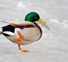 Mallard Balancing on One Foot on Ice by Gerda Grice