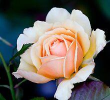 Rose by torishaa