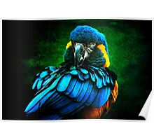 Blue Macaw Poster