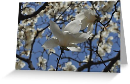 Korean Magnolia in the Park by Christian Eccleston