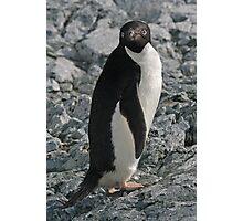 Adelie Penguin 4 Photographic Print
