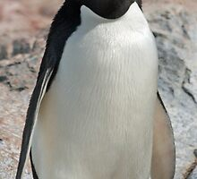Adelie penguin 7 by rhallam