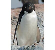 Adelie penguin 7 Photographic Print
