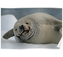 Crabeater Seal Poster