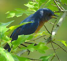 Singing Bluebird by Caren