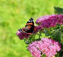 Red admiral butterfly by missmoneypenny