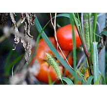 Tomato Garden Photograph Photographic Print