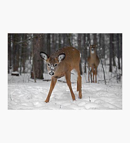 Curious Deer Photographic Print