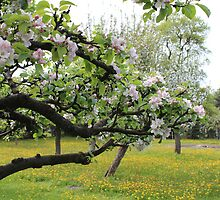 Orchard in Spring by karina5