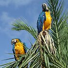 Parrots by Tim Topping