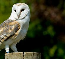 Barn owl standing on a post. by sandyprints