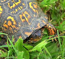 eastern box turtle by Chuck Chisler