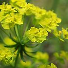 Cypress Spurge by marens