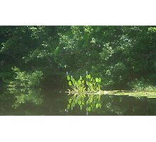 PICKEREL WEED ISLAND Photographic Print