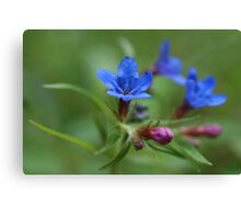 Purple Gromwell Canvas Print