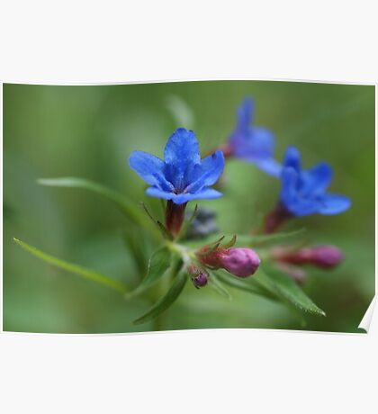 Purple Gromwell Poster