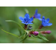 Purple Gromwell Photographic Print