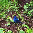 Indigo blue by Chuck Chisler